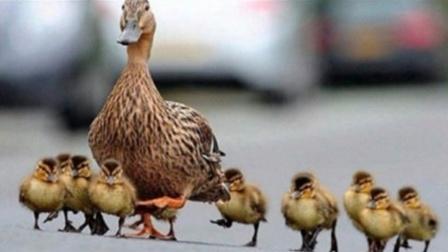 一阵妖风刮过,小鸭子全部被吹翻