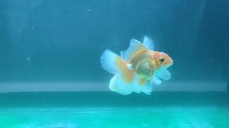 绿水泰狮兰寿金鱼缸