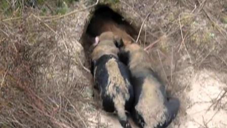两只狗拼命往洞穴里钻,不一会就拉出大货
