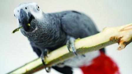 鹦鹉一张嘴一口地道的老北京话,和主人对话笑翻众人