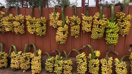 非洲卢旺达,香蕉王国,有一种香蕉煮了当饭吃
