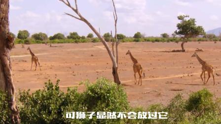 长颈鹿独自对战庞大狮群,是谁给它的勇气,动物界最感人一幕!