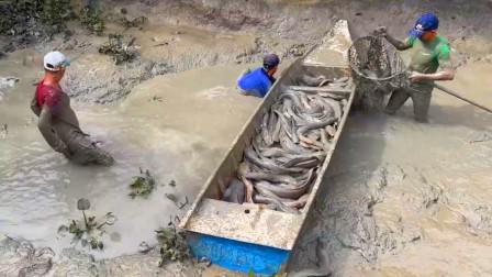 一口废弃池塘,男人抽干水摸鱼,抓了满满一船鱼,这鱼有三百斤吗?