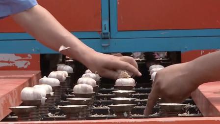 """农械的""""天花板""""!山东牛人发明大蒜切根机,干净平整日切200吨"""
