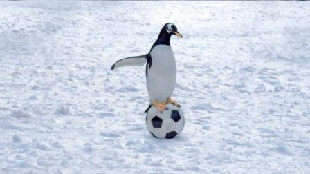 男子每天上街遛企鹅,不仅要教它们跳舞,还要帮忙孵蛋(中)