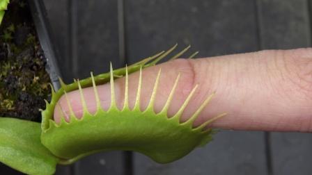 万物皆吃的捕蝇草,把手指放进去会发生什么
