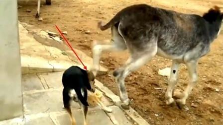狗作死抢夺驴的食物,不料驴一脚踢了过去!