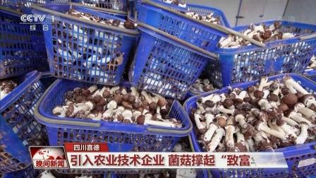 """引入农业技术企业 菌菇撑起""""致富伞""""  晚间新闻 20211015 超清版"""