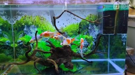 最美造景金鱼缸,朱文金金鱼