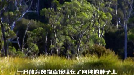 袋獾当地人非常害怕动物,为食物击杀同伴,凶狠程度让人恐惧