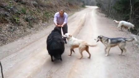 小羊想要攻击主人,不料被狗狗发现了,狗狗奋力保护主人