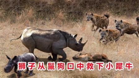 小犀牛被鬣狗大军包围,就在小犀牛命悬一线时,奇迹发生了!