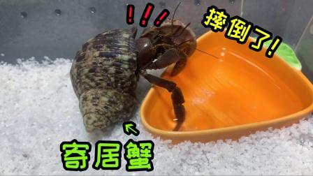 """原来""""寄居蟹""""也是有脾气的,自己摔了一下,连澡都不洗了"""