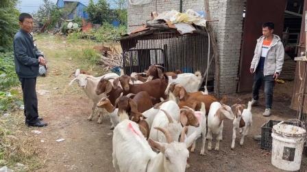 今天父子俩去买山羊,大大小小20只花多少钱?这群羊看着真漂亮