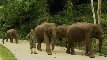十几只大象相继死亡,是人为盗猎还是迷失在象冢?专家现场揭秘