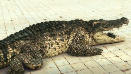 小情侣被困6米泳池,半夜鳄鱼还掉了进来