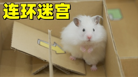5个月大的仓鼠第一次走连环迷宫,处处碰壁急得直接翻墙