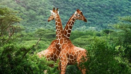 个头高大的长颈鹿,为何喜欢站着睡觉?