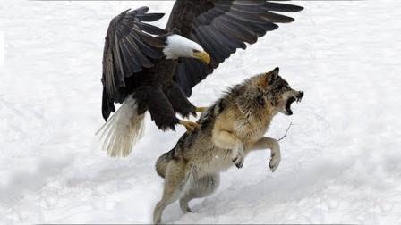 """金雕的杀伤力有多强?野狼被瞬间""""开瓢"""",而野狼毫无招架之力!"""