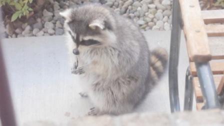 院子里出现一只小浣熊,仔细一看太心疼了