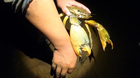 赶海碰上超大螃蟹洞,挖出青蟹老祖宗,蟹钳有手臂粗