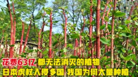 花63亿都无法消灭的植物,日本虎杖入侵多国,为何我国还种植?