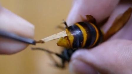"""养蜂人""""辣手催蜂"""",将马蜂""""大肠""""扯出,却是为它好?"""