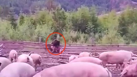 棕熊来农场偷猪,抱起一只就想跑