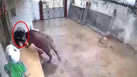 """水牛闯入私人院子,""""发狂""""攻击老人,其中得有多大仇多大怨!"""