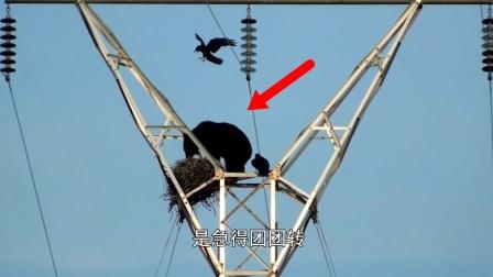 """黑熊为了一口吃食,直接爬上高压电线,这简直是""""自掘坟墓""""!"""