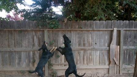 猎犬对着围墙狂吠,没一会就发现一只大家伙