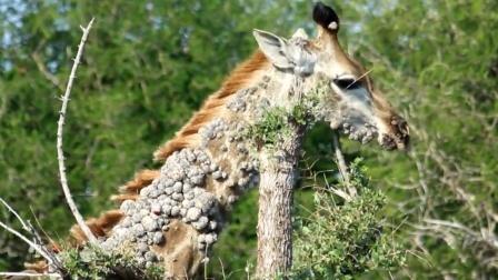 """长颈鹿脖子上长满烂疮,罪魁祸首竟是""""它"""""""