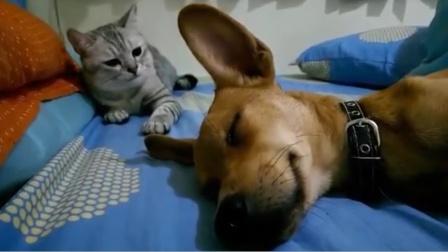 狗子睡觉打呼噜,猫咪一巴掌下去,狗子懵了