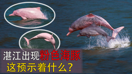 """""""水上大熊猫""""现身湛江,今年已是第4次出现,这预示着什么?"""
