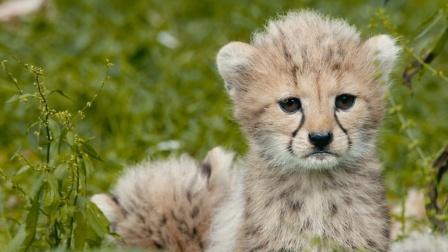 猎豹幼崽太软萌,小心翼翼好奇整个世界 野外生存实录 3