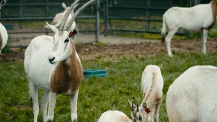 剑羚羊常年处于交配期,雄羊格弗瑞配偶众多 野外生存实录 3
