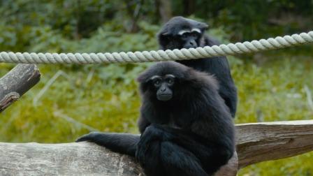 等到幼猿性成熟后,就会被赶出家族群 野外生存实录 2