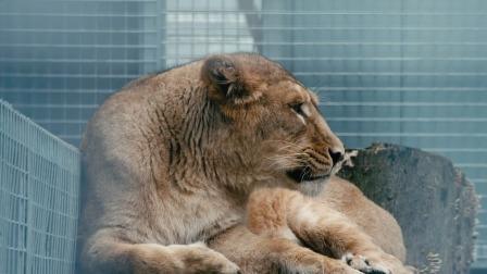 雄狮发情期间过于高冷,心甘情愿为了爱情放弃食物  野外生存实录 1