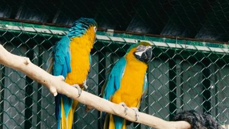 蓝黄金刚鹦鹉喜欢社交,生活悠闲太惬意 野外生存实录 3