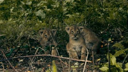 亚洲狮因人类狩猎而濒临灭绝,目前野外生活的不到500只 野外生存实录 1