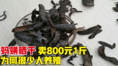 蚂蟥晒干卖800元1斤,为何很少农民养殖?风险到底在哪里?