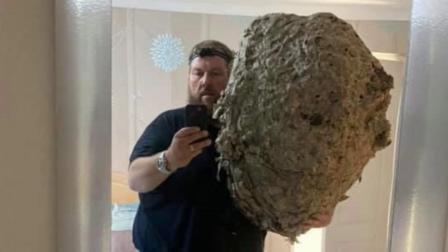 7.5万只黄蜂藏阁楼 罕见100cm巨型蜂巢令人咋舌