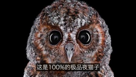 猫头鹰的文明:猫头鹰身上到底有多少秘密…… 自说自话的总裁