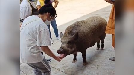 野猪向游客讨食后点头回礼,网友:一只懂得感恩的猪