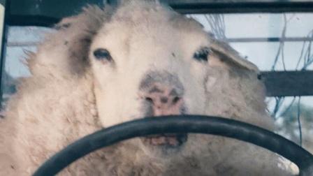 丧尸绵羊不吃草只吃人,羊群南征北战,甚至有专羊开车!