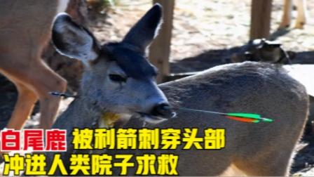 一头白尾鹿被利箭射穿头部后,冲进人类院子求救,结果怎么样了?