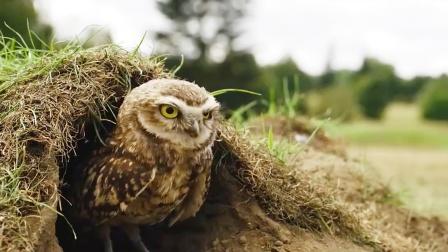 猫头鹰野外生存大挑战,竟因祸得福收获了爱情,治愈纪录片1
