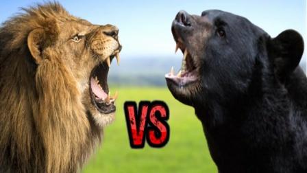 400斤黑熊pk非洲雄狮,直接被打成孙子,网友:真不愧是王者