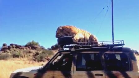 老虎跳上车顶,司机猛踩油门,发生意外事件