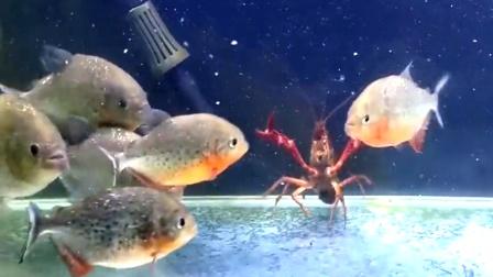 将食人鱼饿上十天,把龙虾扔进去,场面惊人